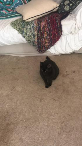 Lost Female Cat last seen Birchstone Ct., Woodruff Lake subdivision, Simpsonville, SC 29681