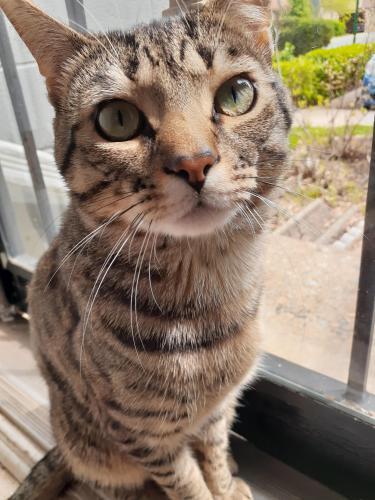 Lost Male Cat last seen Near San Leandro Place, Alexandria, VA, USA, Alexandria, VA 22309