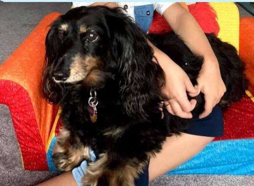 Lost Female Dog last seen Carmel Chase Court, Manvel, TX, USA, Manvel, TX 77578