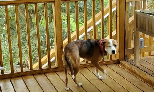Lost Female Dog last seen Takoma Park, MD, USA, Takoma Park, MD 20912