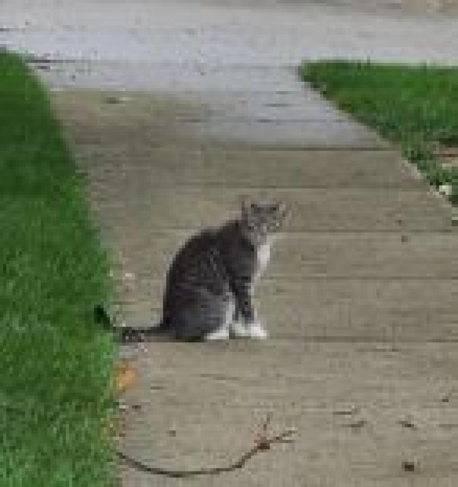 Shelter Stray Male Cat last seen West Springfield, VA 22152, Fairfax, VA 22032