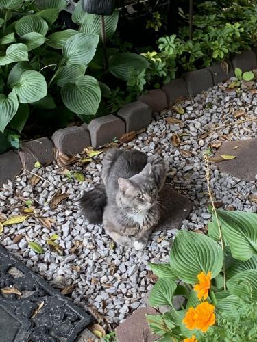 Found/Stray Unknown Cat last seen Webley Ct, Annandale, VA, USA, Annandale, VA 22003
