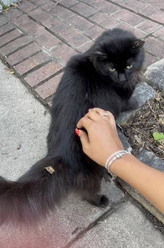 Found/Stray Unknown Cat last seen Near Reserve Champion Drive, Rockville, MD, USA, Rockville, MD 20850