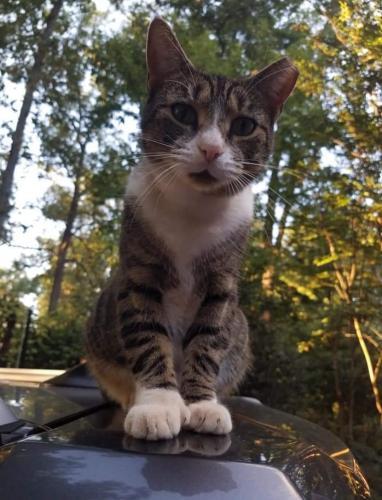 Lost Male Cat last seen Dogwood Drive, Warrenton, VA, USA, Fauquier County, VA 20187