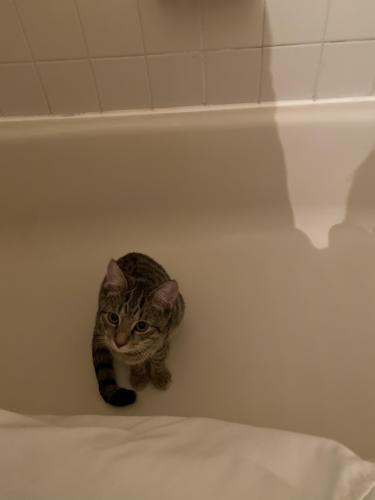Lost Male Cat last seen Choctaw Ridge Court, Lake Ridge, VA, USA, Lake Ridge, VA 22192