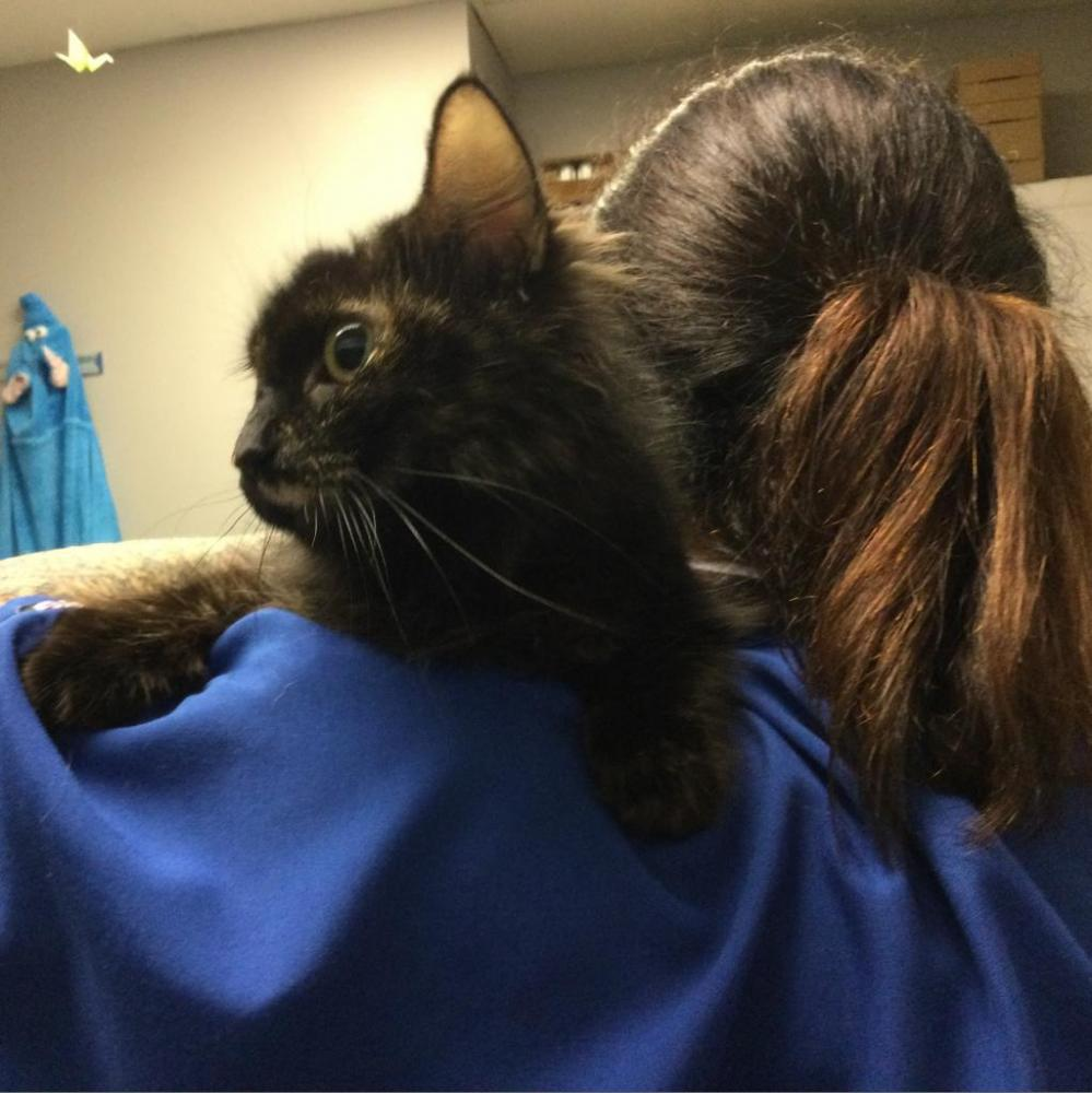 Shelter Stray Female Cat last seen , Greenville, SC 29601