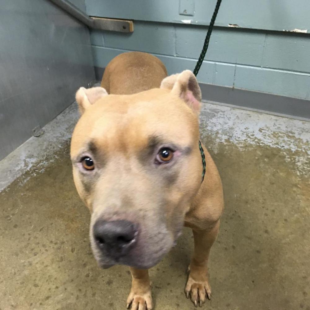 Shelter Stray Male Dog last seen , Greenville, SC 29601