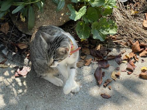 Found/Stray Female Cat last seen Windstone Court, Greenville, SC, USA, Greenville, SC 29615