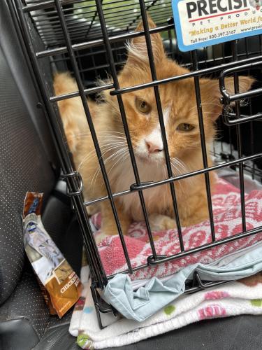 Found/Stray Male Cat last seen Quail Trail, Simpsonville, SC, USA, Simpsonville, SC 29681