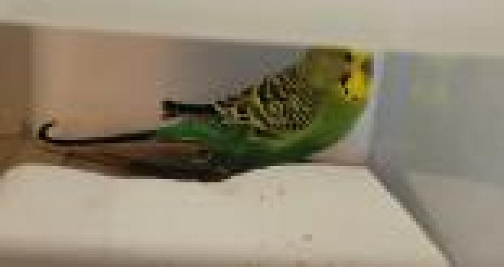 Shelter Stray Male Parakeet (budgie) last seen Falls Church, VA 22044, Fairfax, VA 22032