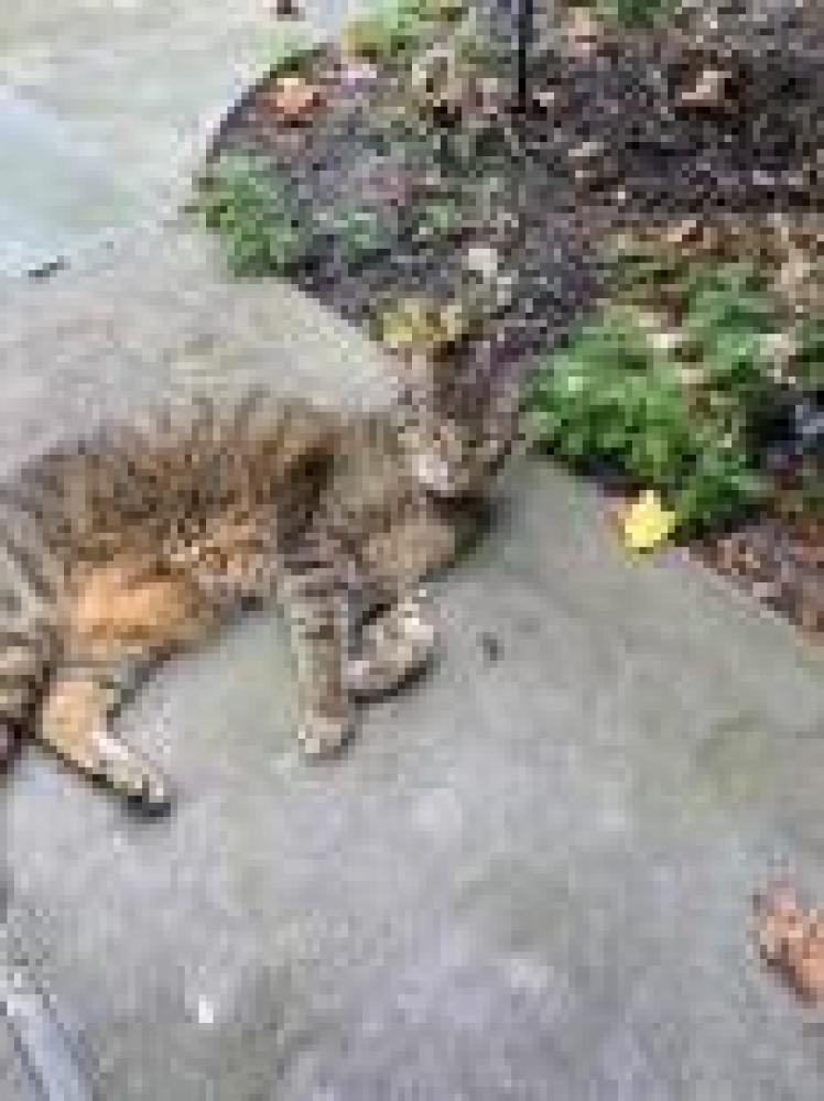 Shelter Stray Unknown Cat last seen Herndon, VA 20170, Fairfax, VA 22032