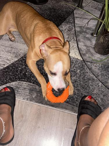 Lost Female Dog last seen Flossmoor, IL, USA, Flossmoor, IL 60422
