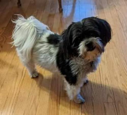 Lost Female Dog last seen Near East Lincoln Highway, Lynwood, IL, USA, Lynwood, IL 60411