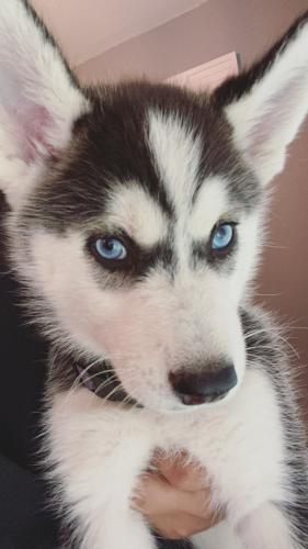 Lost Female Dog last seen Seaford Drive, Houston, TX, USA, Houston, TX 77089
