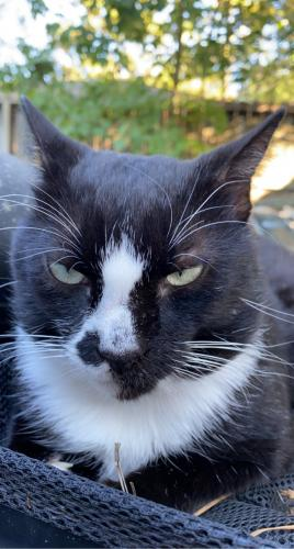 Lost Male Cat last seen Teakwood Forest Drive, Spring, TX, USA, Memorial Northwest, TX 77379