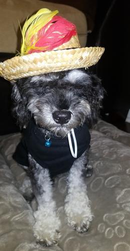 Lost Male Dog last seen Maple Mill Drive, Cypress, TX, USA, Cypress, TX 77429