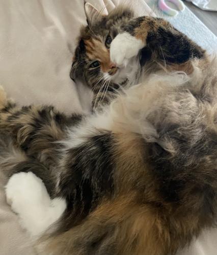 Lost Female Cat last seen Rhea ave Tarzana, CA 91356, Los Angeles, CA 91356