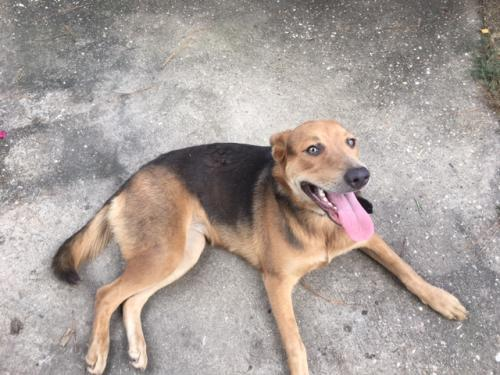 Found/Stray Female Dog last seen Near Giammalva Racquet Club, Wimbledon Estates & Racquet Club, TX 77379