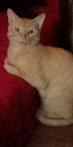 Lost Male Cat last seen Midlothian, IL 60445, USA, Midlothian, IL 60445