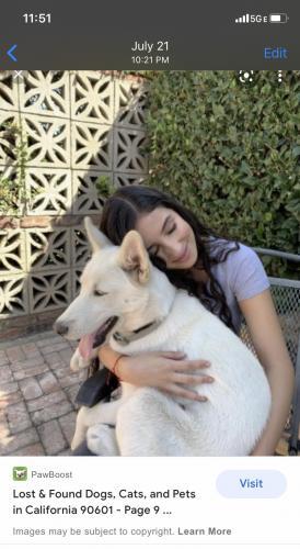 Lost Female Dog last seen Whittier California, Whittier, CA 90602