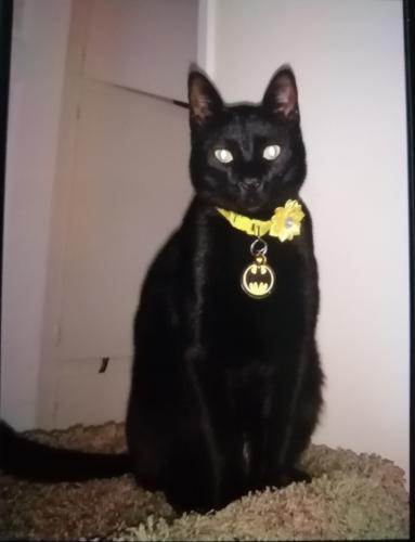 Lost Male Cat last seen Near Fulton Avenue, Van Nuys, CA, USA, Los Angeles, CA 91401